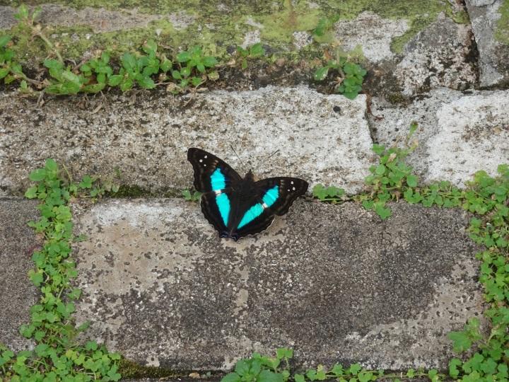 Iguazu -butterfly